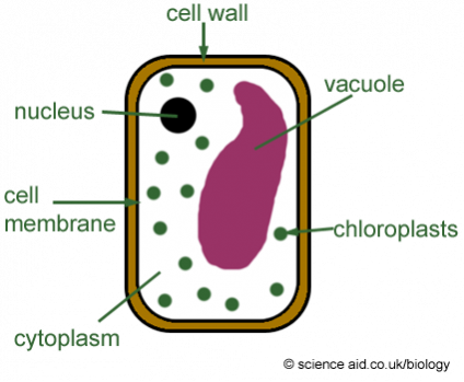 Types of cells science experience a basic plant cell ccuart Images
